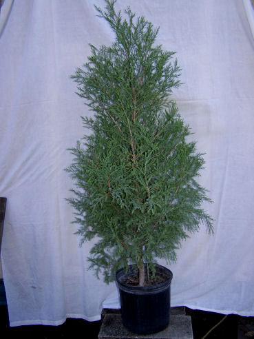 Cedar Trees Types
