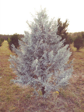 frosted trees - Middleburg Christmas Tree Farm