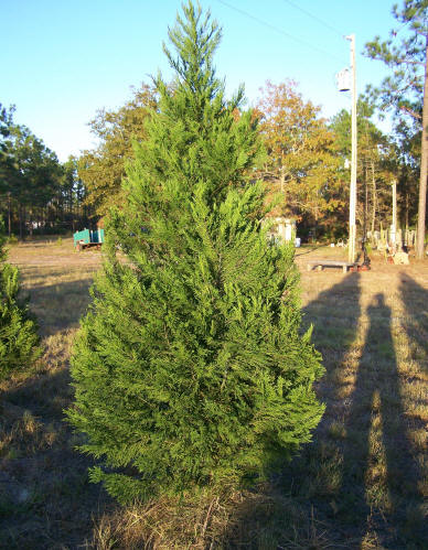 leyland cypress the leyland cypress is a hybrid tree with foliage of irregularly flat planes with a dark green color on heavy branches - Types Of Christmas Trees