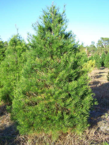 Christmas Tree Types.Tree Types At Songer S Christmas Tree Farm